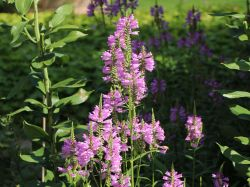 Gelenkblume 'Summerspire' - Physostegia virginiana 'Summerspire'