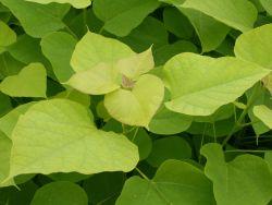 Gold-Trompetenbaum - Catalpa bignonioides 'Aurea'