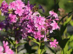 Gro�bl�ttrige Flammenblume 'Christine' - Phlox amplifolia 'Christine'
