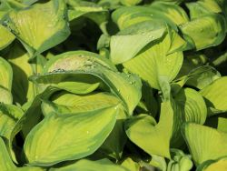 Gro�bl�ttrige Funkie 'Color Glory' - Hosta sieboldiana 'Color Glory'