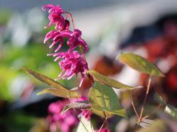 Gro�bl�tige Elfenblume 'Rose Queen' - Epimedium grandiflorum 'Rose Queen'