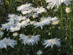 Gro�blumige Margerite, gef�llt - Leucanthemum maximum, gef�llt
