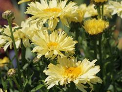 Gro�blumige Margerite 'Goldfinch' - Leucanthemum x superbum 'Goldfinch'