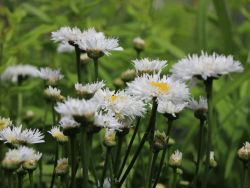 Gro�blumige Margerite 'Snehurka' - Leucanthemum x superbum 'Snehurka'