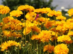 Gro�blumiges M�dchenauge 'Sunray' - Coreopsis grandiflora 'Sunray'