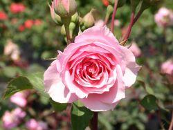 Guillot Rose 'La Rose Bordeaux' � - Rosa 'La Rose Bordeaux' �