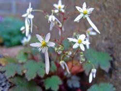 Herbst-Steinbrech 'Rokujo' - Saxifraga cortusifolia var.fortunei 'Rokujo'