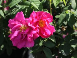 Historische Rose 'Gallica Officinalis' - Rosa 'Gallica Officinalis'