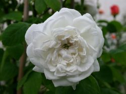 Historische Rose 'Mme Hardy' - Rosa 'Mme Hardy'