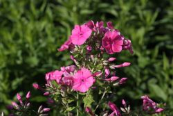 Hohe Flammenblume 'Pink Attraction' - Phlox paniculata 'Pink Attraction'