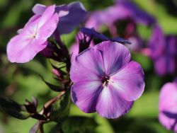 Hohe Flammenblume 'Sweet Summer Temptation' - Phlox paniculata 'Sweet Summer Temptation'