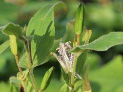 Hohe Kr�tenlilie - Tricyrtis macropoda