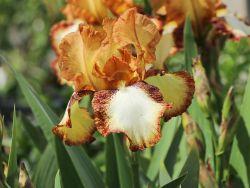 Hohe Schwertlilie 'Siva Siva' - Iris x barbata-elatior 'Siva Siva'