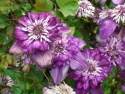 Clematis 'Cassis' TM Evipo 020 (N) - Clematis florida 'Cassis' TM Evipo 020 (N)