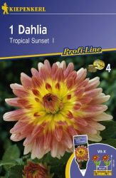 Dahlie 'Tropical Sunset' - Kiepenkerl �