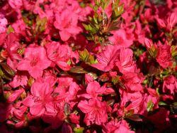 Japanische Azalee 'Allotria' - Rhododendron obtusum 'Allotria'