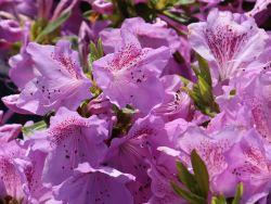 Japanische Azalee 'Ledikanense' - Rhododendron obtusum 'Ledikanense'
