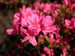 Japanische Azalee 'Rosalind' - Rhododendron obtusum 'Rosalind'