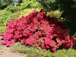 Japanische Azalee 'Rubinstern' - Rhododendron obtusum 'Rubinstern'