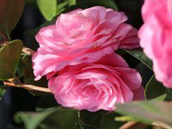 Japanische Kamelie rosa - Camellia japonica rosa