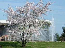 Japanische Maienkirsche - Prunus yedoensis CAC