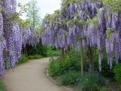 Japanischer Blauregen 'Blue Dream' - Wisteria floribunda 'Blue Dream'