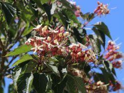 Japanischer Losbaum - Clerodendrum trichotomum