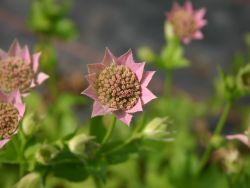 Kaukasus-Sterndolde - Astrantia maxima