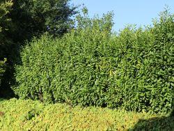 Kirschlorbeer / Lorbeerkirsche 'Genolia' � - Prunus laurocerasus 'Genolia' �