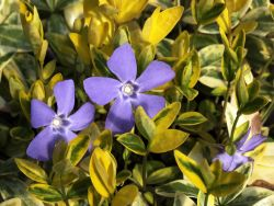 Kleinbl�ttriges Immergr�n 'Aureovariegata' - Vinca minor 'Aureovariegata'