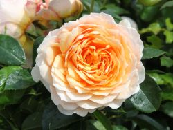 Kletterrose 'Ginger Syllabub' - Rosa 'Ginger Syllabub'