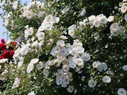 Kletterrose 'Hella' � - Rosa 'Hella' � ADR-Rose