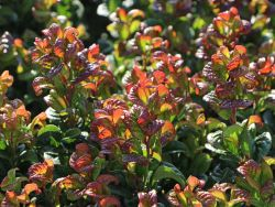 Lavendelheide 'Curly Red' � - Leucothoe axillaris 'Curly Red' �