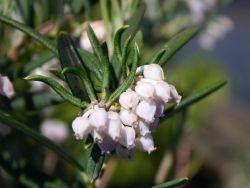 Lavendelheide 'Latifolia' - Andromeda glaucophylla 'Latifolia'