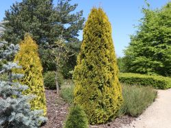 Lebensbaum 'Golden Smaragd' � - Thuja occidentalis 'Golden Smaragd' �