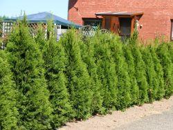 Lebensbaum `Smaragd`, 20-30 cm, Thuja occidentalis `Smaragd`, Topfballen