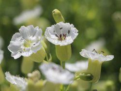 Leimkraut 'Weisskehlchen' - Silene uniflora 'Weisskehlchen'