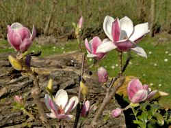 Magnolia 'Satisfaction' � - Magnolia 'Satisfaction' �