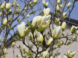 Magnolie 'Yellow River' - Magnolia 'Yellow River'