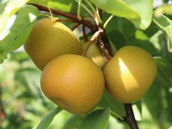 Nashi / Asienbirne / Asiatische Apfelbirne 'Nijiseiki' - Pyrus pyrifolia 'Nijiseiki'
