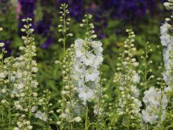 Pacific-Rittersporn 'Galahad' - Delphinium x cultorum Pacific 'Galahad'