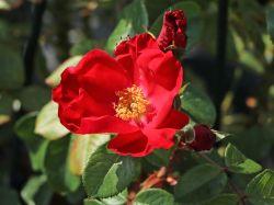 Parkrose 'Robusta' � - Rosa 'Robusta' �