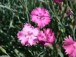 Pfingst-Nelke 'Grandiflorus' - Dianthus gratianopolitanus 'Grandiflorus'