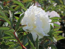 Pfingstrose 'Duchesse de Nemours' - Paeonia lactiflora 'Duchesse de Nemours'