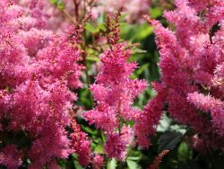Prachtspiere 'Younique Lilac' � - Astilbe japonica 'Younique Lilac' �