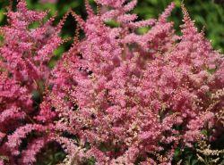 Prachtspiere 'Younique Pink' - Astilbe japonica 'Younique Pink' �