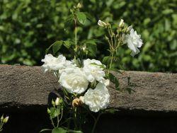 Ramblerrose 'Climbing Iceberg' - Rosa 'Climbing Iceberg'