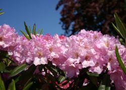 Rhododendron 'Bellefontaine' - Rhododendron Hybride 'Bellefontaine'