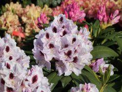 Rhododendron 'Calsap' - Rhododendron Hybride 'Calsap'