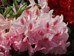 rhododendron 39 furnivall 39 s daughter 39 rhododendron hybride. Black Bedroom Furniture Sets. Home Design Ideas